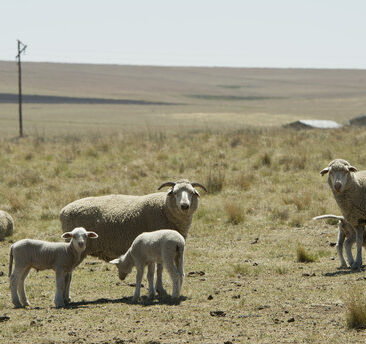 FRANKFORT, SOUTH AFRICA  NOVEMBER 6(SOUTH AFRICA OUT): Sheep seen on Manie van Rooys farm on November 6, 2015 near Frankfort, South Africa. Free State farmers have been severely affected by what is considered as the worst drought since 1992. The shortage in water will cause a decline in farming output that will lower its GDP and cause food-price increases. (Photo by Deon Raath/Foto24/Gallo Images/Getty Images)